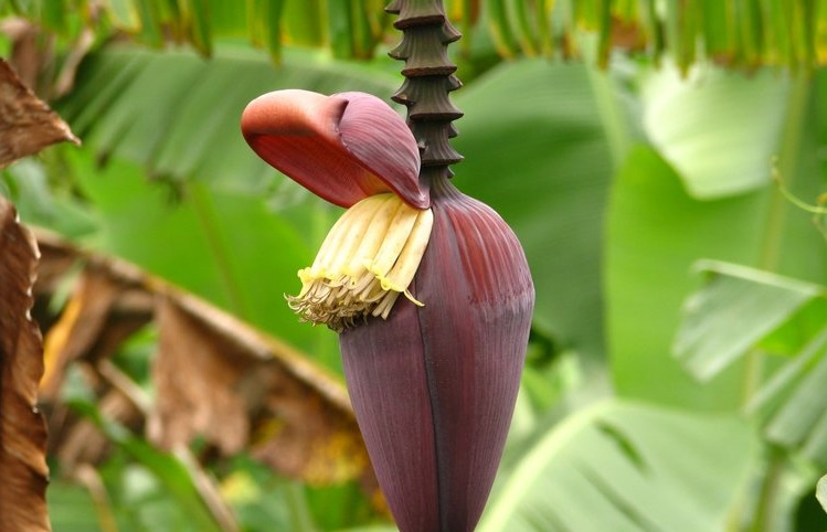 زهرة الموز 1